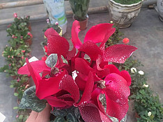 Otaq bitkisi Bakı