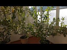 Limon ağacları Şəki