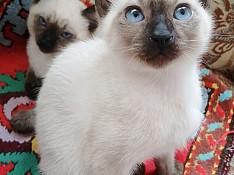 Сиамские котята Bakı