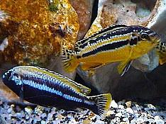 Avratus balığı Bakı