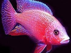 Fail fiş balığı Bakı